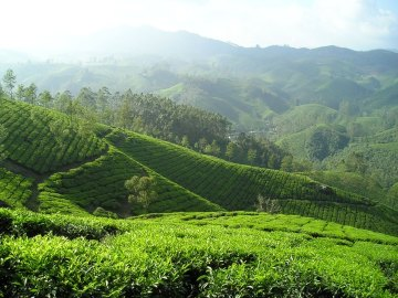 cultivo té